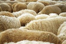 Schafeherde