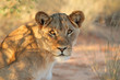 canvas print picture - Portrait of an African lioness (Panthera leo), South Africa.