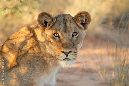 Fotografie, Obraz  Portrait of an African lioness (Panthera leo), South Africa.