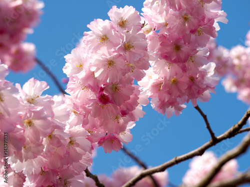 Photo  Cherry blossom against blue sky