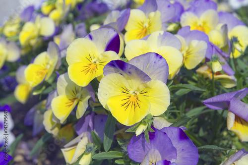 Fotografie, Obraz  viola del pensiero fiore fiori