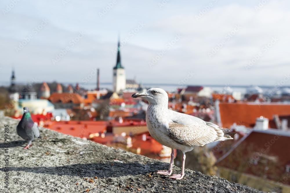 European herring gull and pigeon, Old town, Tallinn