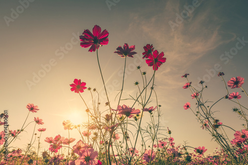 Cuadros en Lienzo  Field cosmos flower and sky sunlight with Vintage filter.