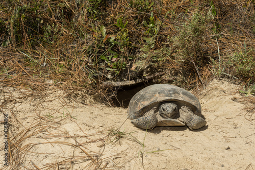 A Gopher Tortoise emerging from it's burrow. Canvas Print