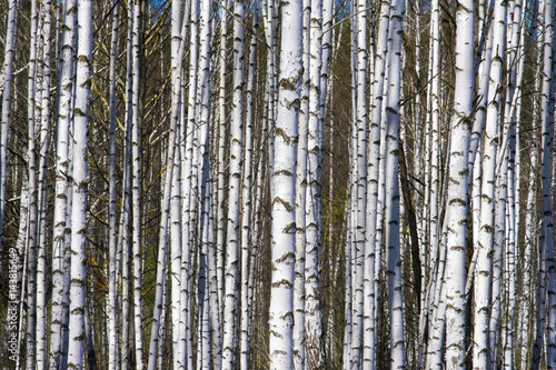 Spring landscape birch forest. April. Birches with the unblown leaves