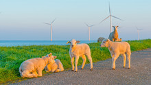 Sheep And Wind Turbines Along A Lake At Sunrise