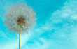 Delicate dandelion with seeds on background of bright blue sky.