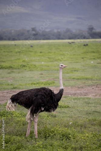 Staande foto Struisvogel Portrait of male ostrich, Ngorongoro Crater, Tanzania