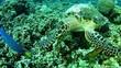 Marine life Sea turtle diving in Maldives