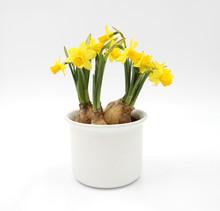 Osterglocken / Narzissen - Blumenzwiebeln - Im Weißen Übertopf - Hintergrund Freigestellt Isoliert / Background Isolated
