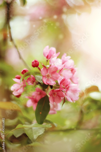 Branch with pink flowers of Apple tree