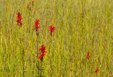 Scarlet Red Cardinal Flower Lo...