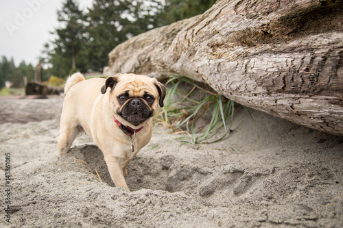 Valokuva  pug at beach