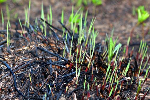 Photo  Plant Growth Prairie Burn