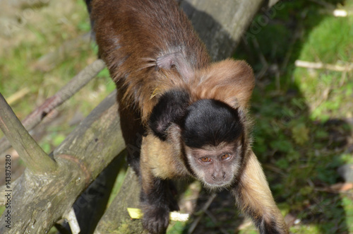 Fotografia, Obraz  Baby Brown Capuchin Monkey on the Back of It's Mom