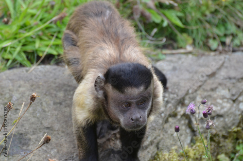 Photo Black Capped Capuchin Monkey Up Close and Personal