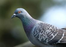 Ferali Pigeon .