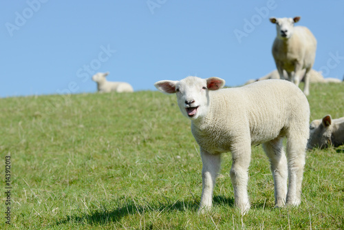 sheep lamb standing on meadow and bleating Wallpaper Mural