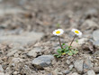 Two wild daisy survivors, on stony ground.