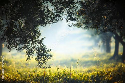 Cadres-photo bureau Oliviers coltivazione di ulivi in Puglia