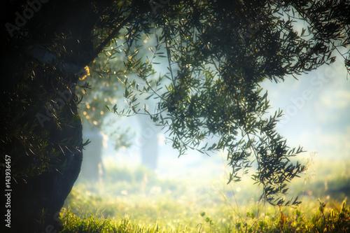 Photo sur Aluminium Oliviers coltivazione di ulivi in Puglia