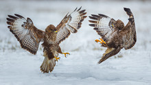 Two Common Buzzards Flying Toward Each Other
