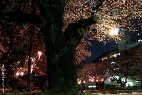 Papiers peints Jardin 夜桜風景