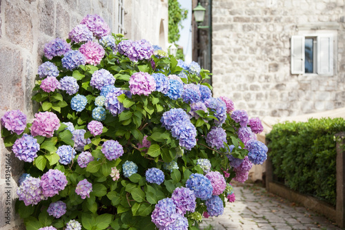 Blooming Flowers Hydrangea Are Pink Blue Lilac Violet Purple In