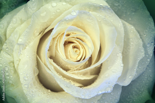 Beautiful flower rose with water drops - 143945425