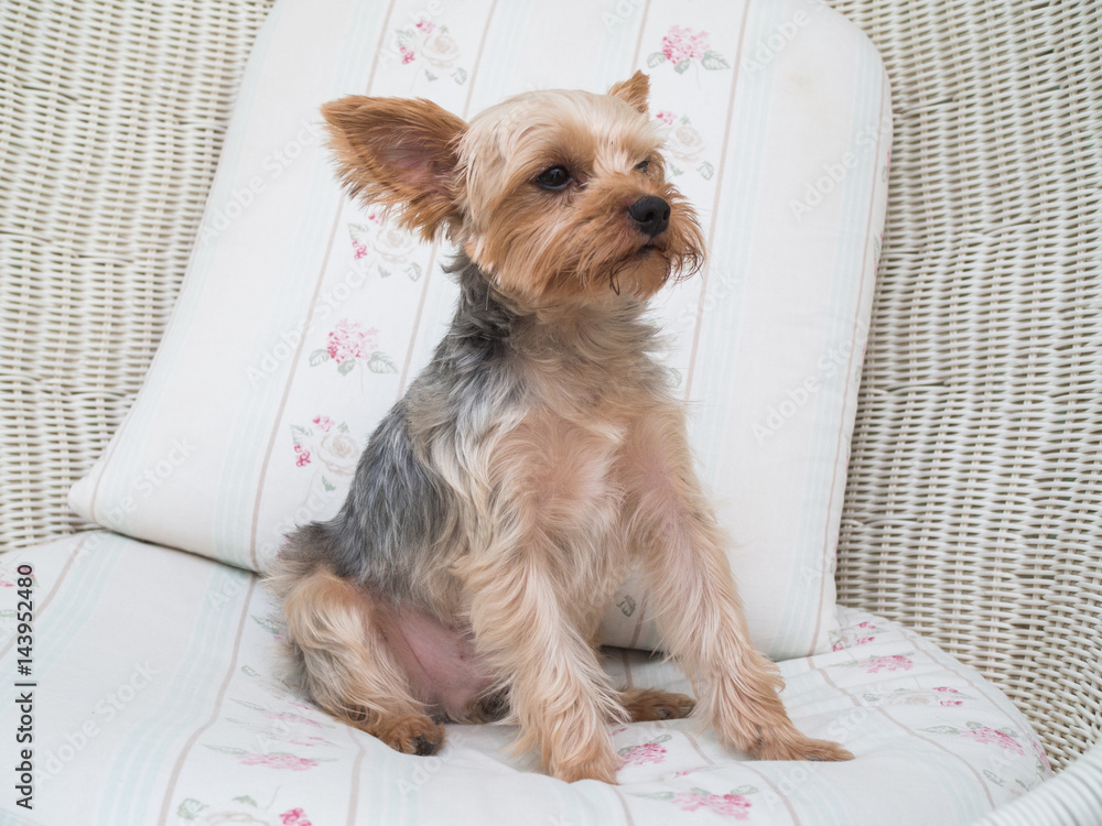 Photo Art Print Small Cute Funny Yorkshire Terrier Puppy Dog Stand