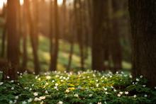 Spring Awakening Of Flowers In Forest On Background Of Sunshine