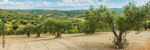Fotoposter Olijfboom Olive plantation Greece, Europe