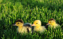 Three Little Ducks In Green Gr...