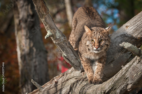 Foto auf Leinwand Luchs Bobcat (Lynx rufus) Stretches Out in Branches