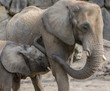 two elephants playing and walking together