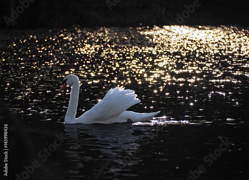 Foto op Plexiglas Krokodil White swan at the black background with gold lights