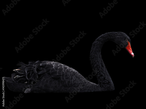 Black swans at the lake sweaming isolated at black