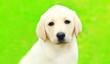canvas print picture - Portrait of cute dog puppy Labrador Retriever over summer background
