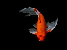 Beautiful Colorful Fancy Carp Fish