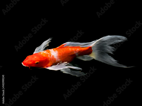 Beautiful colorful fancy carp fish
