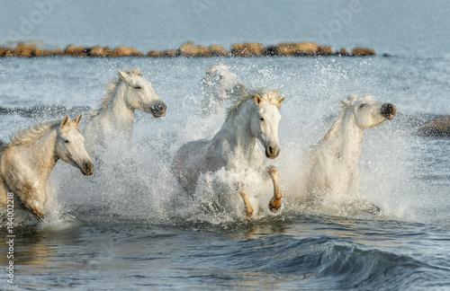 Fotografie, Obraz  White Camargue Horses galloping along the beach in Parc Regional de Camargue - Provence, France