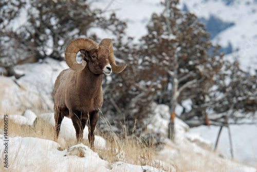 Rocky Mountain Bighorn Wallpaper Mural