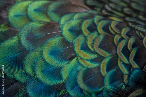 close-up peacock feathers