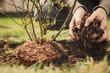 canvas print picture - Frau pflanzt einen Blaubeerstrauch in den eigenen Garten