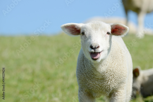 Photo sheep lamb standing on meadow and bleating
