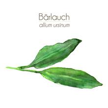 Bärlauch - Aquarell