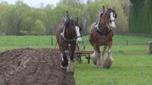 Draught Horses Plough Towards Camera
