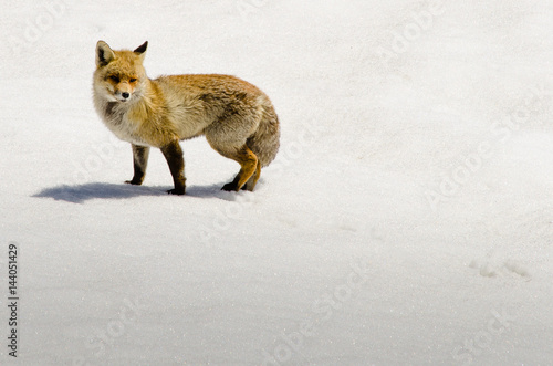 Photo  Fox on snowy landscape