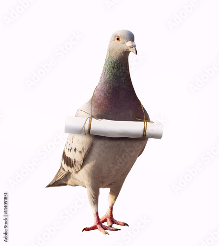 pigeon bird and papoer letter message mail on neck for abstract of media and press sender