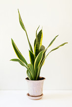 Sansevieria Trifasciata, Or The Mother-in-Law's Tongue In An Old Flowerpot.